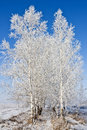 Birches covered hoar frost background blue sky Royalty Free Stock Photography