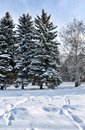 Birches and firs covered with fresh snow in the city Park, with traces of snow in the foreground, in the winter frosty