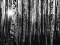 Birches high contrast black and white photo of in sunlight Stock Image