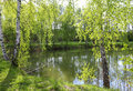 Birches by the lake