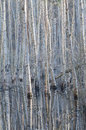 Birches reflection in water in morning light Royalty Free Stock Image