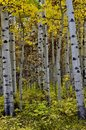 Birches on the Road to Sharks Tooth Trailhead, forest road 561 Royalty Free Stock Photo