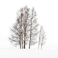Birches in snow brushy on a slope with wintry white background Stock Photos