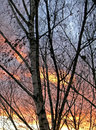 Birches at sunset background in late autumn Stock Images