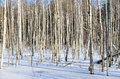 Birches in winter forest on day Royalty Free Stock Photo