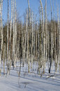 Birches in winter forest on day Royalty Free Stock Images
