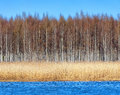 Birchforest at shoreline with seagrass during spring Royalty Free Stock Images