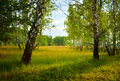 Birchwood summer landscape with birch trees and green lawns Royalty Free Stock Images