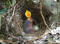 Bird baby stretched out their necks at nest Royalty Free Stock Photo