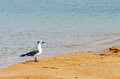 Bird on a beach white and grey in la guajira colombia Royalty Free Stock Photo