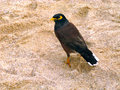 Bird on the beach a with yellow round eye in in thailand in south east asia Royalty Free Stock Image