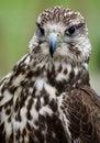 Bird, Beak, Falcon, Hawk