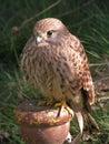 Bird, Beak, Fauna, Falcon