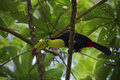 Bird with big beak keel billed toucan ramphastos sulfuratus in habitat green treetop with big leaves mexico america Royalty Free Stock Photos