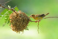 Bird and bird s nest the on the tree Royalty Free Stock Images