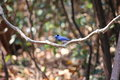 Bird black naped monarch thailand life Royalty Free Stock Photos