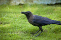 Bird a black raven on a grass with blue shade Stock Photography