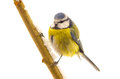 Bird blue tit parus caeruleus sitting on a twig isolated on white Stock Images