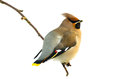 Bird bohemian waxwing bombycilla garrulus sitting on a twig isolated on white Stock Image