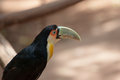 The bird with bright plumage large and a huge beak toucan in american zoo of exotic tropical birds Stock Photography