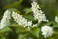 Bird cherry Royalty Free Stock Photos