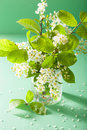 Bird cherry blossom in vase over green background Stock Images