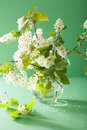 Bird cherry blossom in vase over green background Royalty Free Stock Photos