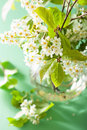 Bird-cherry blossom in vase over green background Royalty Free Stock Photo