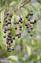Bird cherry the branch of tree Stock Images