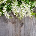 Bird cherry branch on a wooden surface Stock Photos