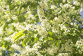 Bird cherry flowering bird cherry bird cherry tree in blossom white flowers green leafs Royalty Free Stock Photo