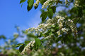 Bird cherry flowers close up of white Royalty Free Stock Images