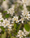 Bird cherry flowers in early summer Royalty Free Stock Image