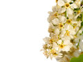 Bird cherry tree blossom isolated on white background Royalty Free Stock Photography