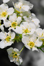 Bird cherry tree in blossom over natural background Royalty Free Stock Image