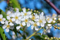 Bird cherry tree flowers macro Royalty Free Stock Photo