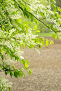 Bird cherry tree rain wet flowering with arable land in background Stock Images