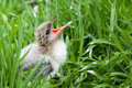 Bird Chick in the Grass Stock Photos