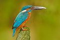 Bird Common Kingfisher with fish in bill. Beautiful orange and blue bird sitting on the tree trunk. Bird with fish in the beak. Ki Royalty Free Stock Photo