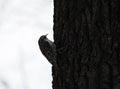 Bird Common Treecreeper at tree Royalty Free Stock Photo