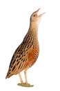 Bird a corn crake isolated on the white background Royalty Free Stock Photos