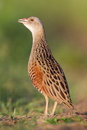 Bird a corn crake sings on a meadow spring Royalty Free Stock Image