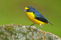 Bird from Costa Rica forest. Yellow-throated Euphonia, Euphonia hirundinacea, blue and yellow exotic bird from the Costa rica. Bir Royalty Free Stock Photo