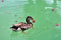 Bird dabbling duck swimming in the water of a pool in butterfly world south florida Stock Images