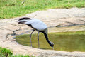 Bird demoiselle crane (Anthropoides virgo) Royalty Free Stock Photo