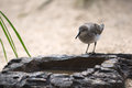 Bird drinking water from artificial rock. Royalty Free Stock Photo