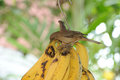 Bird eating national is banana in costa rica Stock Photo