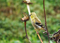 Bird eating seeds yellow american goldfinch carduelis tristis in winter plumage cone flower Stock Photos
