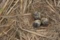 Bird eggs Stock Images