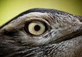 Bird eye close up of a Royalty Free Stock Images
